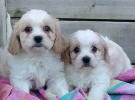 Cute and cuddly Cavachon puppies