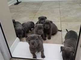 GENIUNE STUNNING KC LILAC/3X BLUE CHUNKY STAFF PUPPIES READY NOW