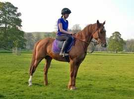 14.1 Mare For Sale - Offers