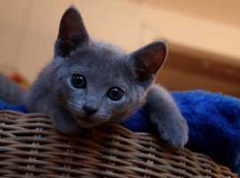 Pedigree Russian blue kittens