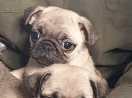 Beautiful KC Registered Pug Puppies