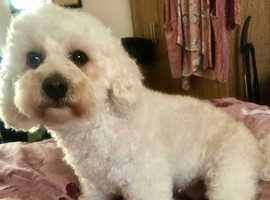 Poochon pups expected 24/09/20