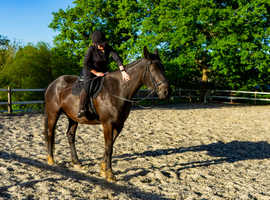 LOOKING FOR A FOREVER BEST FRIEND TO BUY 15.2HH to 16.3HH