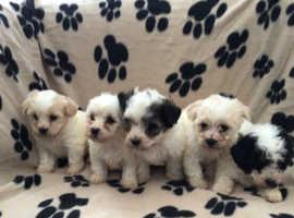Bichon x yorkie puppies