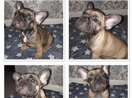 Beautiful  kc reg french bulldog pups