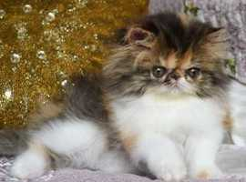 Persian Cats & Kittens For Sale & Rehome in Lancaster | Find Cats