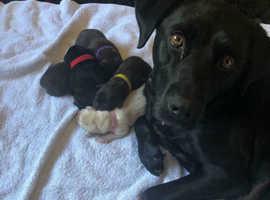Pedigree Labrador Puppies