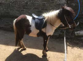 Approx 12hh 5 year old piebald Dartmoor mare