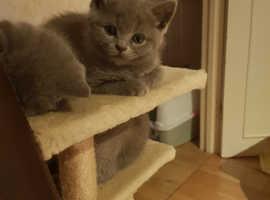 Scottish fold/straight kitten female for sale
