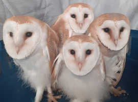 1  YOUNG BARN OWL available .  ready to go to new home