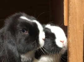 Baby lop bunny rabbits
