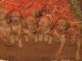 Hungarian Vislas Puppies for sale honestly the best pups out there...