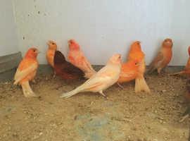 Orange Canaries for sale
