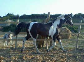 Stallion at stud only