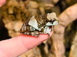 Amazonian milk frogs