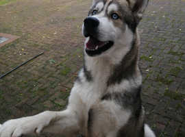 Siberian Husky Male Pup *Northern Ireland ONLY*