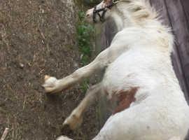 Red white colt