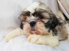 Shih tzu pups only boy