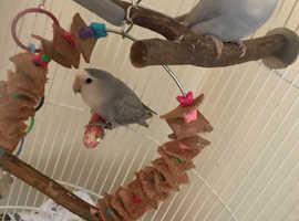 2x Love Birds, Cage & Accessories £100 ono