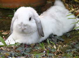 Lovely female Holland Lop bunny very soft fluffy and cute.