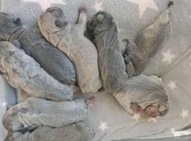 French buldog puppies