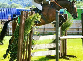 Very talented 10yr old TB mare