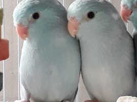 2 stunning hen parrotlets
