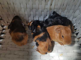 PRETTY BABY GUINEAPIGS