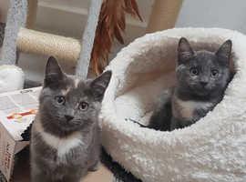 12 Week Old BSH Blue/Grey Kittens. Both Female