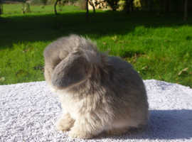 FOR RESERVE - Stunning Purebred minilop rabbits - LAST ONE