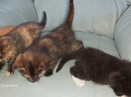 kittens, microchipped, insured wormed ready now