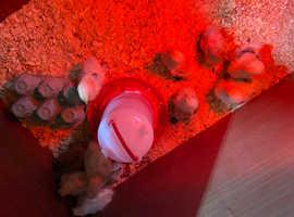 Pekin chicks