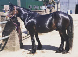 14hh cob type project or companion