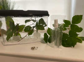 Stick insect complete set up- pets, tank, eggs, spray etc