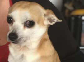 Chihuahua needs a loving home