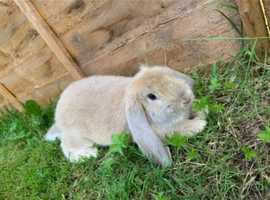 Male Giant French Lop