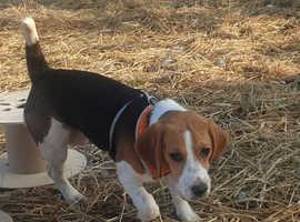 Beautiful Tri Colour Beagle
