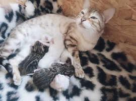 Tica registered bengal kittens