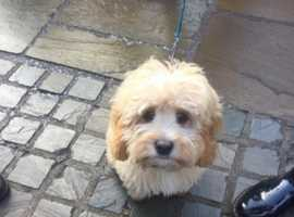 Wanted cavapoo puppy like in the photo, from Milton Keynes