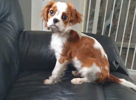Stunning female cavalier king Charles 12  weeks ready to go