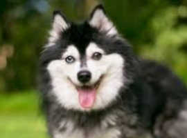 Alaskan Klee Kai puppy for rehome
