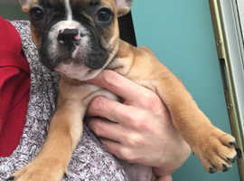 Gorgeous frenchy puppies (health tested parents)