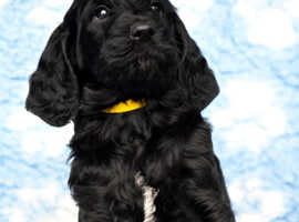 Spinonedoodles - Italian Spinone x Standard Poodle