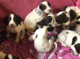 Liver and white English Springer spaniel puppies