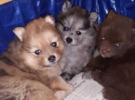 Pomeranian puppies (merle teddybear)