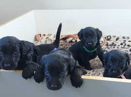 Gorgeous F1 Labradoodle puppies