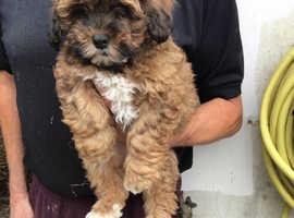 Shih Tzus cross Poddle pups