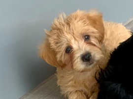 Jackapoo puppies for sale.