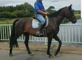 Steady bay Welton / Fleetwood Opposition mare