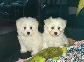 Stunning Bichonain puppies